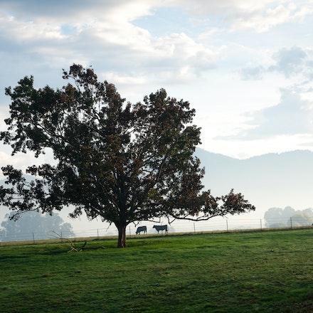 Buckland Valley - Cows Under Tree