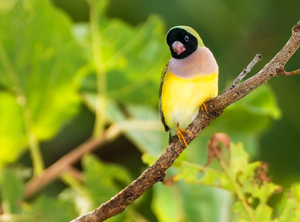 Gouldian Finch Female