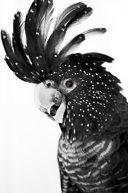 BLACK COCKATOO BW.