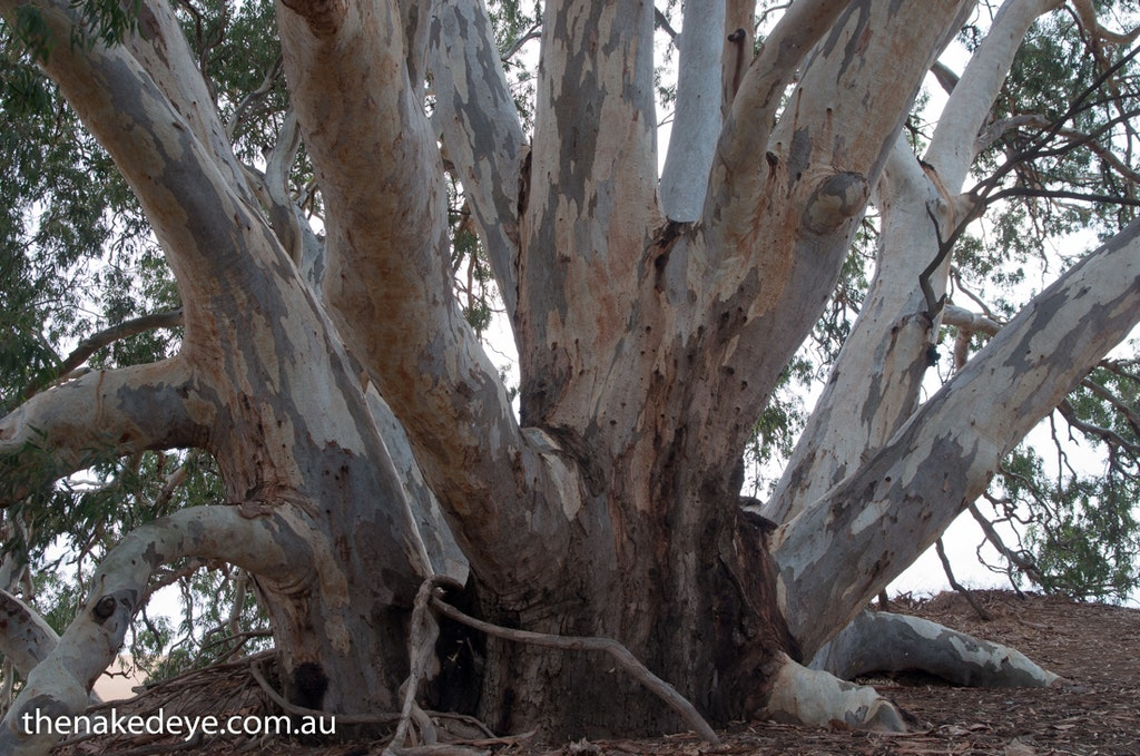 IMGP0341 - God tree Perry Sandhills, NSW
