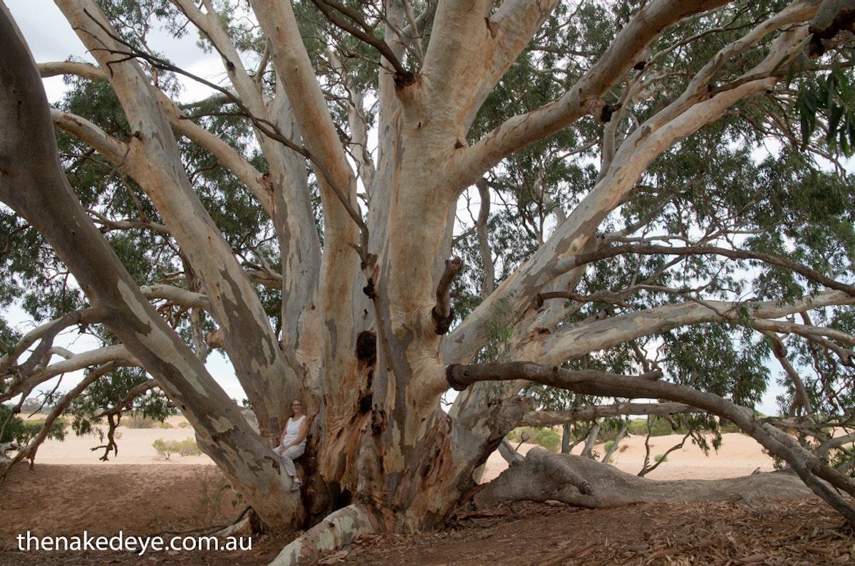 IMGP0361 - God tree Perry Sandhills, NSW