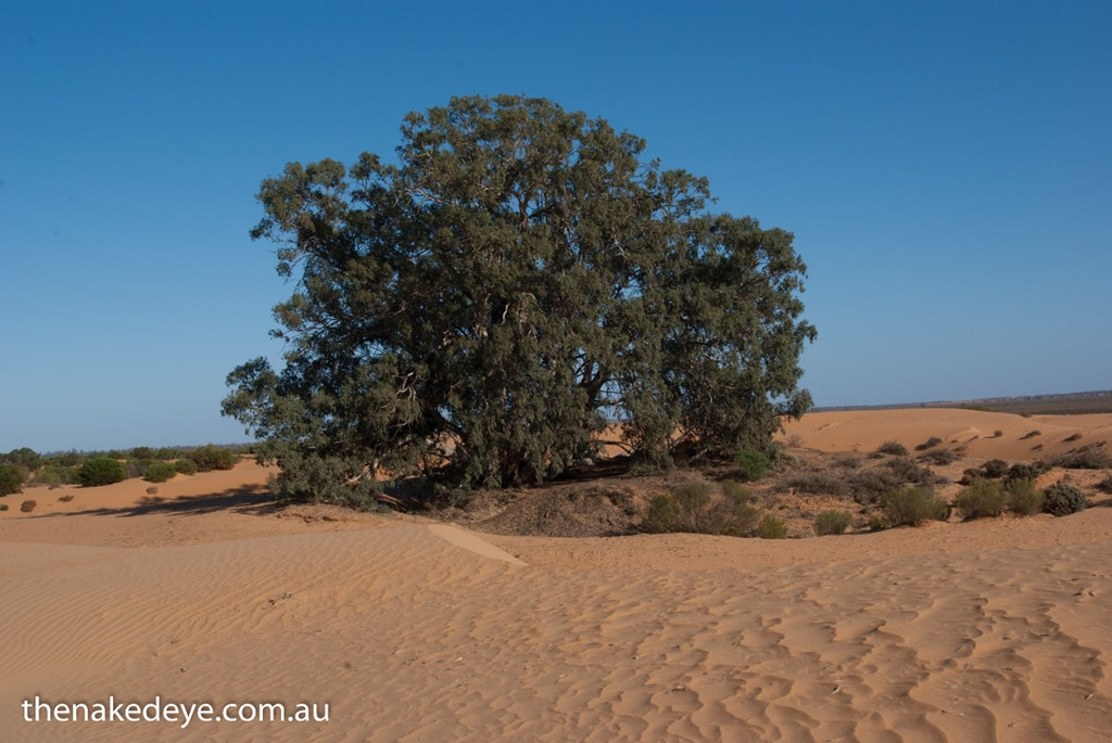 IMGP5043 - God Tree Perry Sandhills