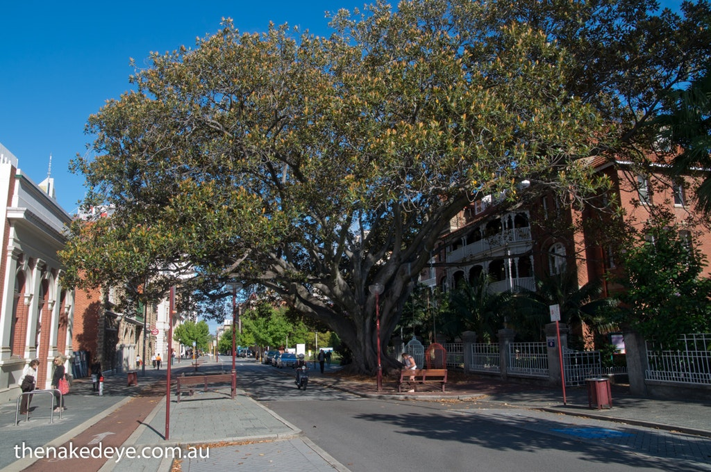 IMGP5872 - The Kissing Tree, Murray Street Perth