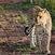 Dangerous beauty - Serengeti - Tanzania