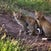 Leopard cubs - Serengeti - Tanzania