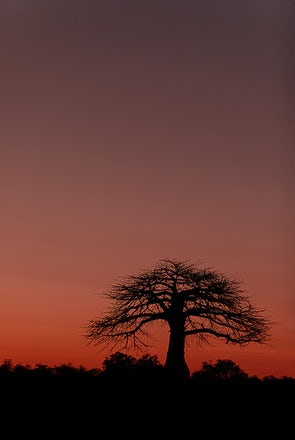 Baobab  at Sunset - Ruaha - Tanzania