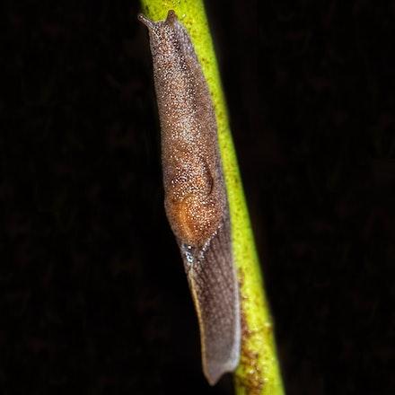 Parmacochlea fischer, wet tropics semi slug - Parmacochlea fischer, wet tropics semi slug, slugs