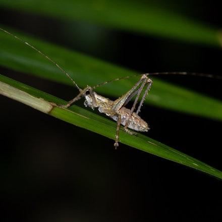Spiny-legged rainforest katydid, Phricta spinosa, - Spiny-legged rainforest katydid, Phricta spinosa, , katydid, insects, wet tropics, daintree