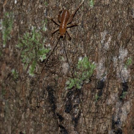 Early instar nymph of Penalva sp. Australian Forest Cricket. - Early instar nymph of Penalva sp. Australian Forest Cricket,  cricket , insects