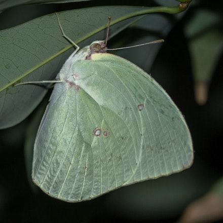 The Lemon Migrant 'pale form' male Catopsilia pomona - 'pale form' male Catopsilia pomona... The Lemon Migrant