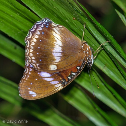 Varied Eggfly.Hypolimnas bolina - Varied Eggfly.Hypolimnas bolina