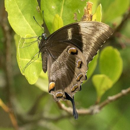 Ulysses Butterfly, Papilio ulysses - Ulysses Butterfly, Papilio ulysses, wings closed, butterfly, insects , wet tropics