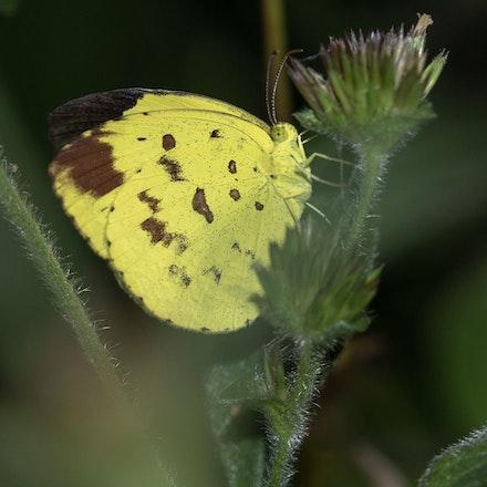 Grass-Yellow Butterfly