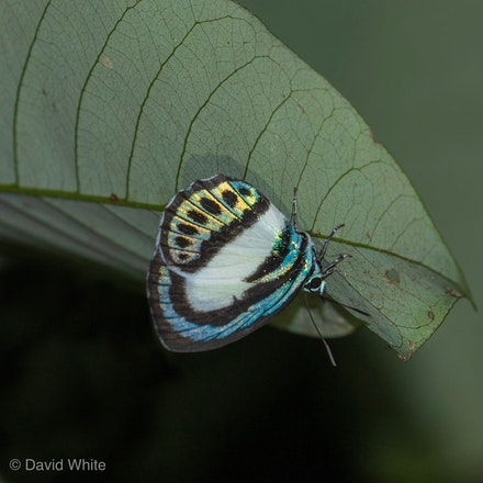 Small Green-banded Blue Lycaenidae - Psychonotis caelius taygetus - Large Green-Banded Blue Butterfly, Danis danis