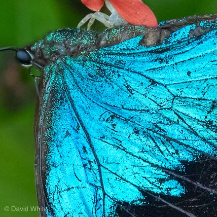 Ulysses Butterfly being eaten by a crab spider