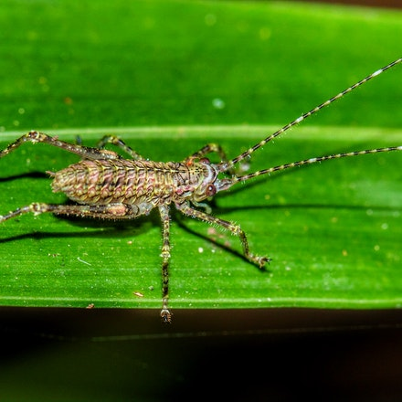 Spiny-legged rainforest katydid, Phricta spinosa, - Spiny-legged rainforest katydid, Phricta spinosa,