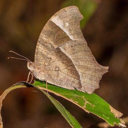 Evening Brown  Melanitis leda - Evening Brown , Melanitis leda