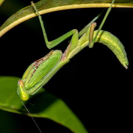 Hierodula majuscula,  'giant rainforest mantis' - Hierodula majuscula,  'giant rainforest mantis'