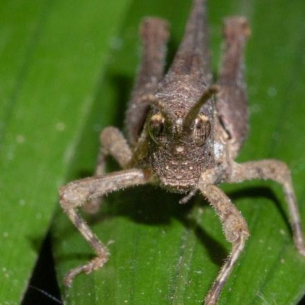 Desmoptera truncatipennis , Litter Hopper or Rainforest Pyrgomorph. - Desmoptera truncatipennis , Litter Hopper or Rainforest Pyrgomorph.
