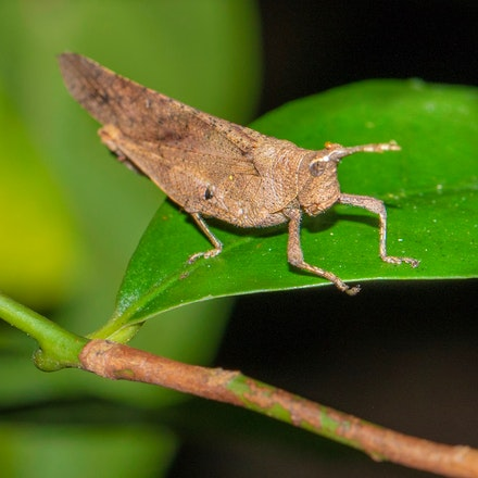 Desmoptera truncatipennis, the Large Forest Pyrgomorph - Desmoptera truncatipennis, the Large Forest Pyrgomorph, grasshoppers, insects , wet tropics