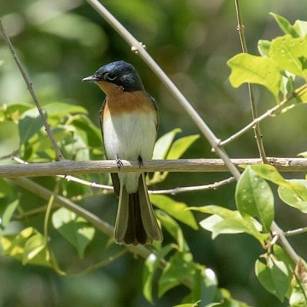 Satin Flycatcher, Myiagra cyanoleuca, - Satin Flycatcher, Myiagra cyanoleuca,