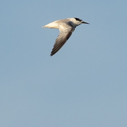 Little Tern,  Sternula albifrons - Little Tern,  Sternula albifrons
