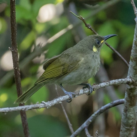 Graceful Honeyeater,  Meliphaga gracilis - Graceful Honeyeater,  Meliphaga gracilis
