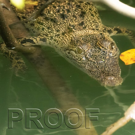 Ita - Crocodile, crocodiles, crocodylus porosus