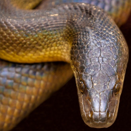Water python, Liasis fuscus - Water python, Liasis fuscus