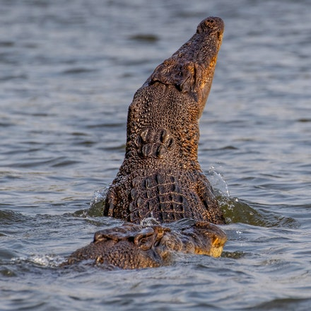Crocs together, - (press for more images) Crocodiles , crocodilian,