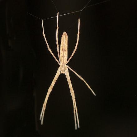 Deinopis subrufa- net casting spider - Deinopis subrufa- net casting spider