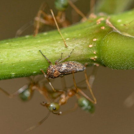 Leaf hopper with green ants - Leaf hopper with green ants