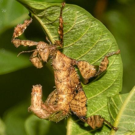 Spiny Leaf Insect  (Extatosoma tiaratum) - Spiny Leaf Insect  (Extatosoma tiaratum)