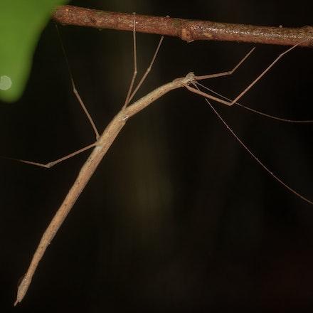 Delicate Stick Insect (Sipyloidea caeca) - Delicate Stick Insect (Sipyloidea caeca)
