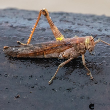 Giant Grasshopper (Valanga irregularis). - Giant Grasshopper (Valanga irregularis).