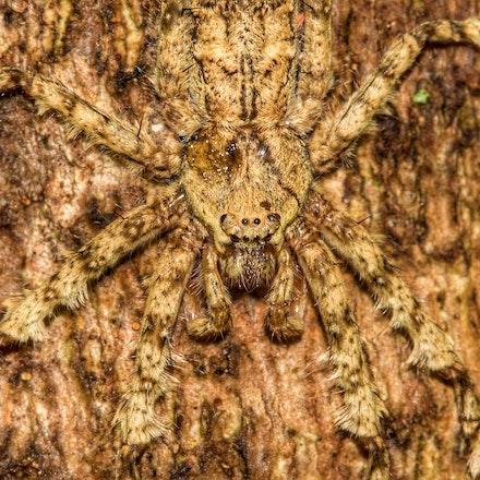 Lichen spider , Pandercetes gracilis - Lichen spider , Pandercetes gracilis