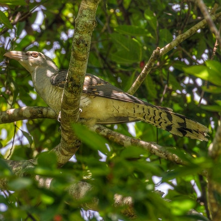 Channel billed cuckoo,  Scythrops novaehollandiae - Channel billed cuckoo,  Scythrops novaehollandiae, birds, Daintree, cuckoos