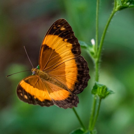 Bordered Rustic - Bordered Rustic , butterfly, insects