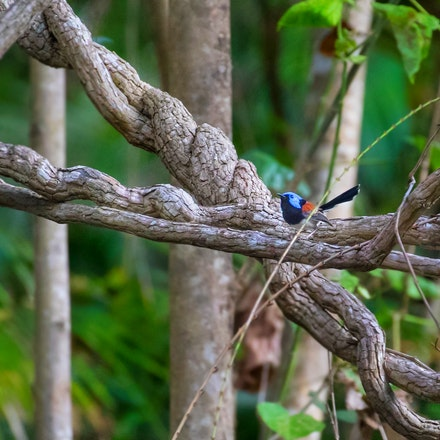 Lovely Fairy-wren , Malurus amabilis, - Lovely Fairy-wren , Malurus amabilis,  Birds , wet tropics, cairns , Daintree