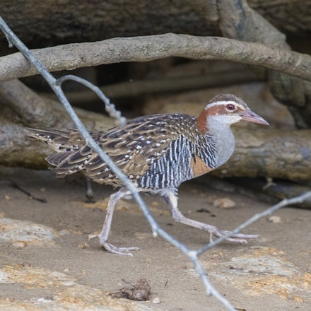 Buff banded rail,  Gallirallus philippensis - Buff banded rail,  Gallirallus philippensis , birds , wet tropics, daintree ,