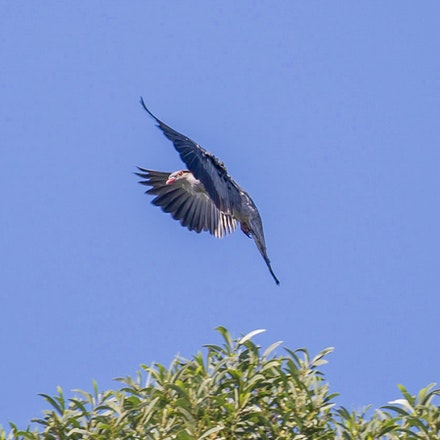 Topknot pigeon,  Lopholaimus antarcticus - Topknot pigeon,  Lopholaimus antarcticus, birds, daintree
