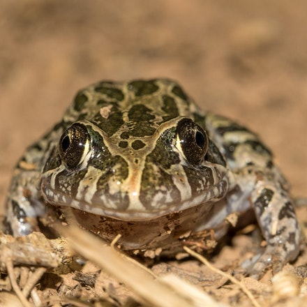 marbled marsh frog. Limnodynastes convexiusculus - Photo taken at Wonga beach