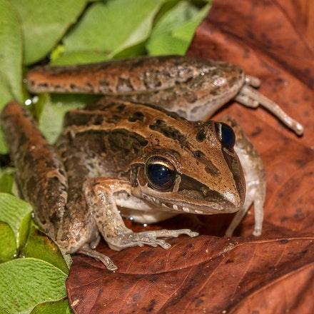 striped rocket frog,  Litoria nasuta - Photo taken at Wonga beach