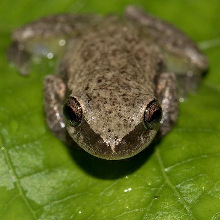 Red Tree Frog,  Litoria rubella