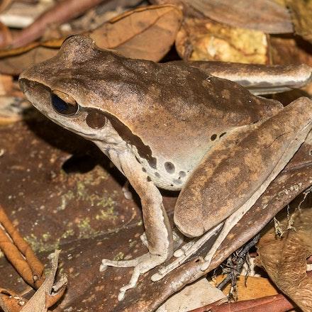 Northern Stony Creek Frog,  litoria jungguy - Photo taken Mt Lewis