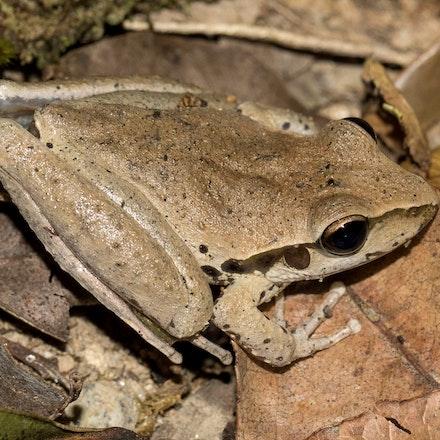 Northern Stony Creek Frog,  litoria jungguy - Photo taken at Wonga beach