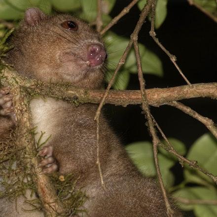 Daintree River ringtail possum,  Pseudochirulus cinereus