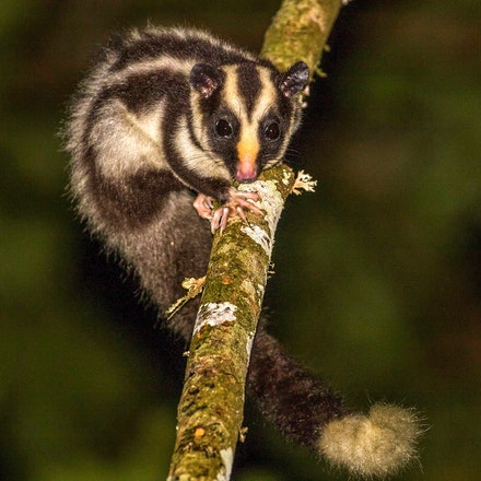 Possums of the wet tropics, - Striped possum