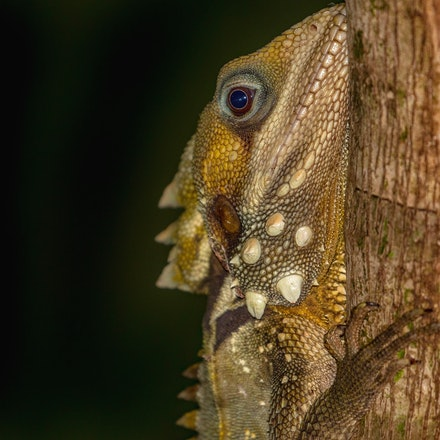 Lizards and geckos of the wet tropics  not seen on the river