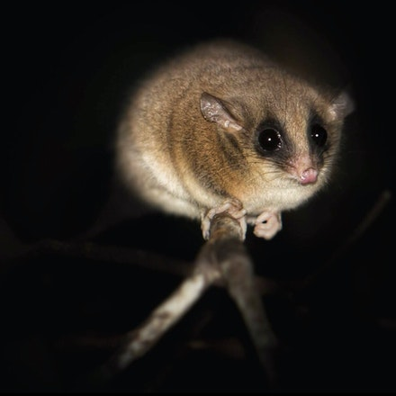 Long Tailed Pygmy Possum,  Cercartetus caudatus - Long Tailed Pygmy Possum,  Cercartetus caudatus, possums, wet tropics